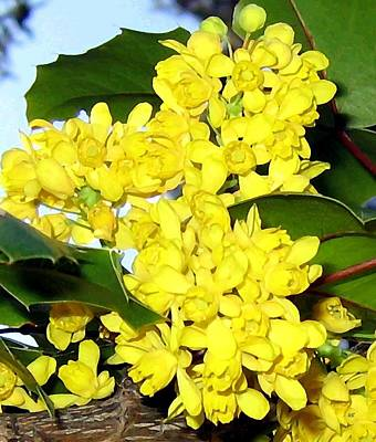 Grape Leaves Photograph - Oregon Grape Blossoms by Will Borden
