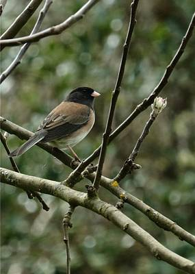 Photograph - Oregon Junco by I'ina Van Lawick