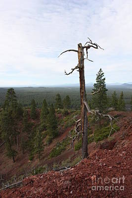 Photograph - Oregon Landscape - Confused Tree At Lava Butte by Carol Groenen