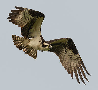 Photograph - Oregon Osprey by Loree Johnson