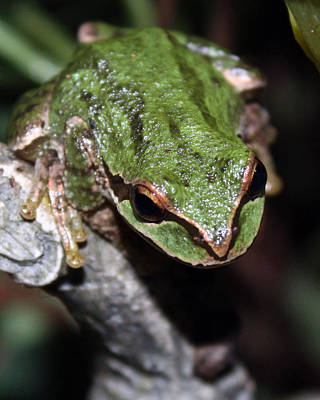 Frogs Photograph - Oregon Tree Frog by Nick Gustafson