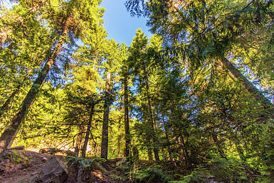 Photograph - Oregon Trees by Jonny D