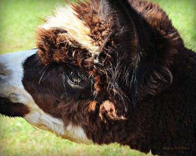 Photograph - Oreo-the Alpaca by Kathy M Krause