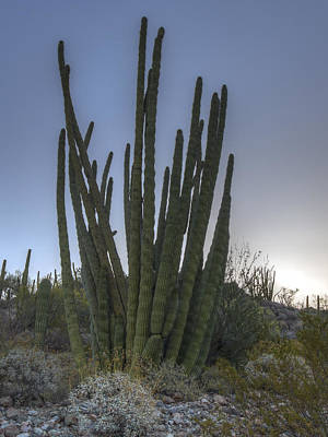 Photograph - Organ Pipe Cactus At Sunset by Jean Noren