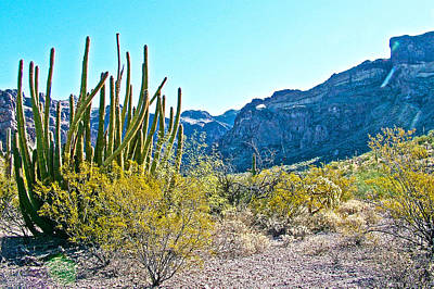 University Of Arizona Photograph - Organ Pipe Cactus In Arch Canyon In Organ Pipe Cactus National Monument-arizona  by Ruth Hager