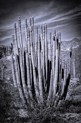 Photograph - Organ Pipe Cactus In Black And White  by Saija Lehtonen