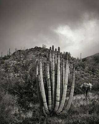 Organ Pipes Photograph - Organ Pipe Cactus by Joseph Smith