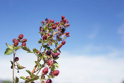 Organic Handpicked Home Orchard Raspberries,blackberries From Bu Art Print