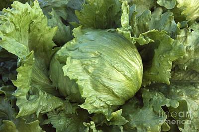 Lettuce Photograph - Organic Iceberg Lettuce by Inga Spence