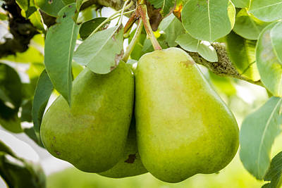 Photograph - Organic Pears by Teri Virbickis