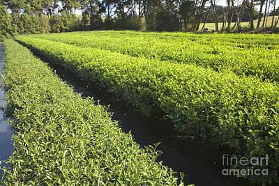 Camellia Photograph - Organic Tea Plantation by Inga Spence