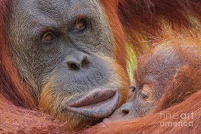 Organutan Mother And Baby Print by Jerry Fornarotto