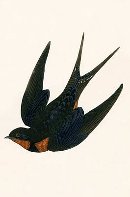 Swallow Painting - Oriental Chimney Swallow by English School