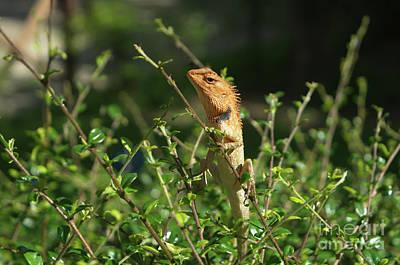 Photograph - Oriental Garden Lizard by Michelle Meenawong