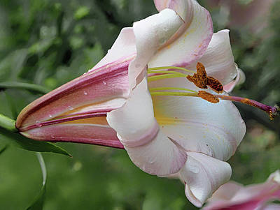 Photograph - Oriental Lily by C H Apperson