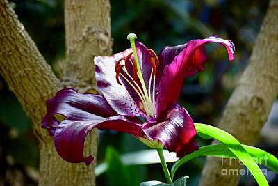 Photograph - Oriental Lily by Jeannie Rhode