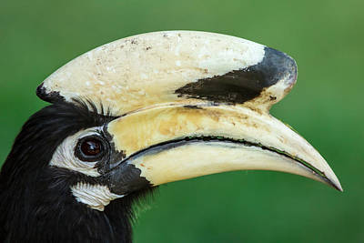Oriental Pied Hornbill Original by Prasert Krainukul