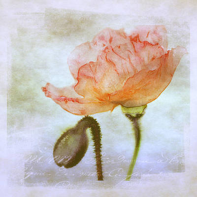 Oriental Poppy And Bud Art Print by Julie Palencia