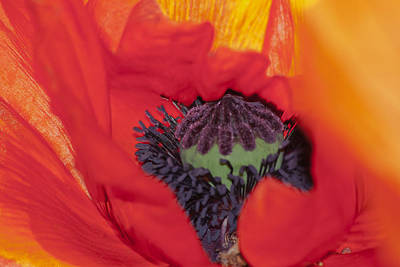 Wildflower Photograph - Oriental Poppy Center by Emerald Studio Photography