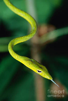 Oriental Whip Snake Art Print by Andreas Hartl