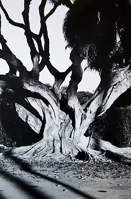 Photograph - Original Banyan Tree by Rob Hans