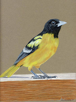 Oriole Drawing - Oriole by Laurie With