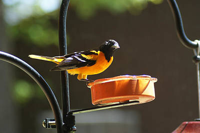 Photograph - Oriole Loves Grape Jelly by Ron Read