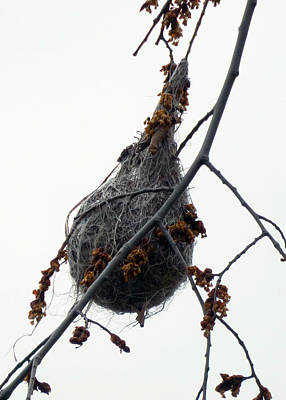 Photograph - Oriole Nest by Leslie Montgomery