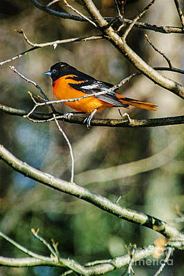 Photograph - Oriole On Branch by Christina VanGinkel