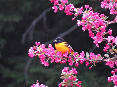 Photograph - Oriole On Crabapple by MTBobbins Photography