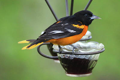 Photograph - Oriole On Feeder  by Brook Burling