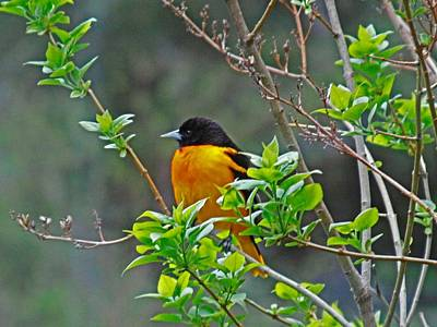 Photograph - Oriole On The Lilac by Larry Capra