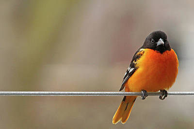 Photograph - Oriole On The Line by Debbie Oppermann