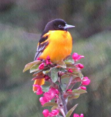 Photograph - Oriole Orange by MTBobbins Photography