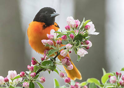 Photograph - Oriole by Wade Aiken