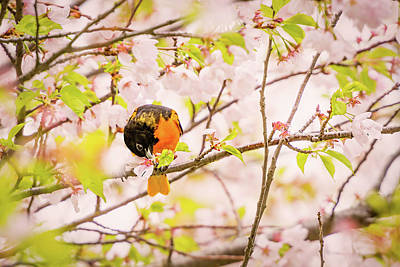 Photograph - Oriole With Cherry Blossoms by Tracy Munson