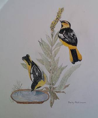 Oriole Drawing - Orioles by Sally Atchinson