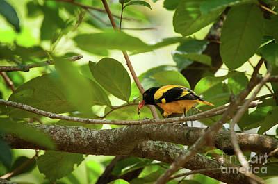Photograph - Oriolus Xanthornus by Venura Herath