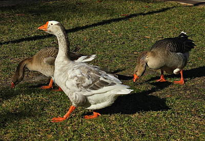 Photograph - Orlando African Brown Geese by Denise Mazzocco