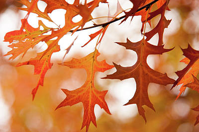 Photograph - Ornament Of Japanese Maple Leaves by Jenny Rainbow
