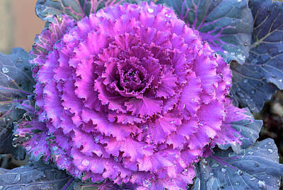 Photograph - Ornamental Cabbage Closeup by David Gn