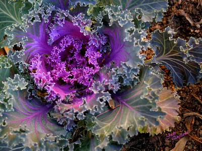 Photograph - Ornamental Cabbage by Judi Quelland
