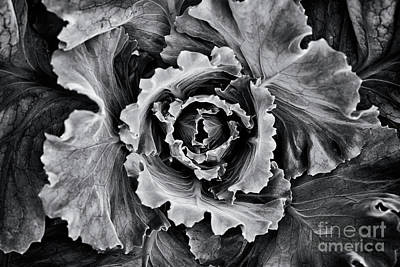 Photograph - Ornamental Cabbage Monochrome  by Tim Gainey