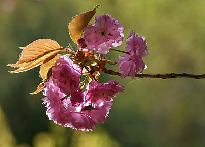 Photograph - Ornamental Cherry Blossoms - by Julie Weber