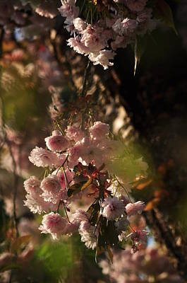 Photograph - Ornamental Cherry Blossoms by Martin Stankewitz