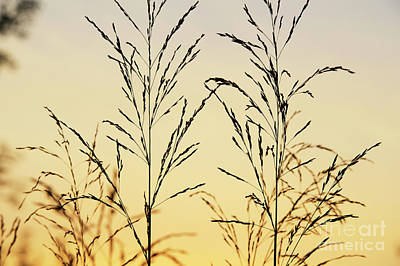 Photograph - Ornamental Grass At Sunrise by Tim Gainey