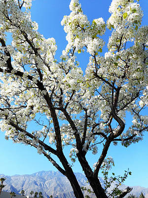 Photograph - Ornamental Pear Blossoms 6 by Ron Kandt
