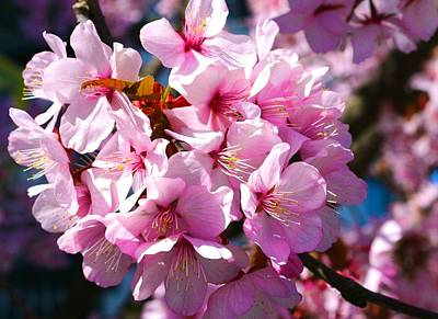 Photograph - Ornamental Plum Blossoms by Polly Castor