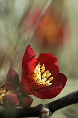 Photograph - Ornamental Quince by Robert Potts