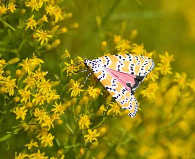 Photograph - Ornate Bella Moth Utetheisa Ornatrix by rd Erickson